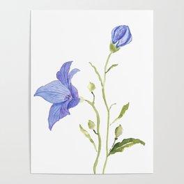 purple platycodon gradiflorus flower wateroclor Poster