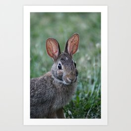 Eastern Cottontail Rabbit 2 Art Print