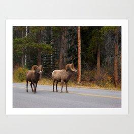 Bighorn Rams, Banff Alberta Art Print
