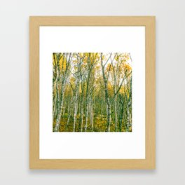 Silver Birches Framed Art Print