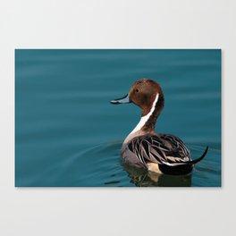Bird - Northern Pintail Canvas Print