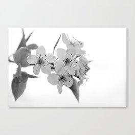 Bradford Pear Blossoms in black and white Canvas Print