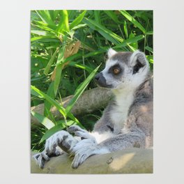 Cute and relaxed Ring-tailed lemur (lemur catta) Poster
