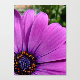 Purple Osteospermum Canvas Print