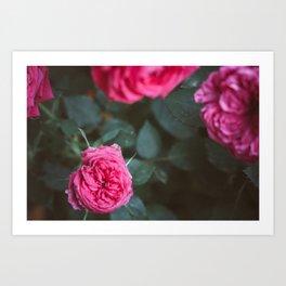 Roses blossom Art Print