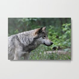 Grey Wolf Stare Metal Print