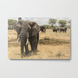 Curious Elephant in Tarangire National Park, Tanzania Metal Print