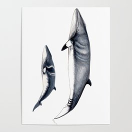 Minke whale with baby whale Poster