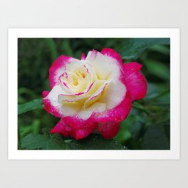 Double Delight Rose - Red and cream beauty Art Print