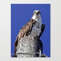 david fleck Canvas Prints featuring My favorite osprey, Fleck by Sandy Scott