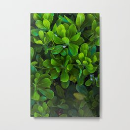Green leaf coastal plant with white flowers in bloom.  Close up vertical image. Metal Print