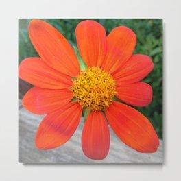 Orange sunflower variety, an aerial view Metal Print