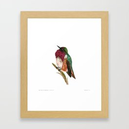 Wine-throated Hummingbird Framed Art Print