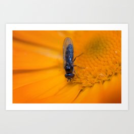 Black Hoverfly on Marigold Art Print
