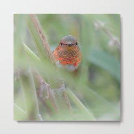 An Allen's Hummingbird Amid Mexican Sage Metal Print