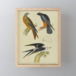 008 falco rufipes milvus regalis milvus furcatus17 Framed Mini Art Print