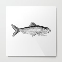 Alosa pseudoharengus Metal Print