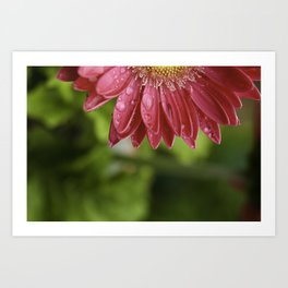 Pink Flower Petals Dripping After Rainfall Art Print