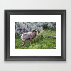 Big Horn Ram Framed Art Print