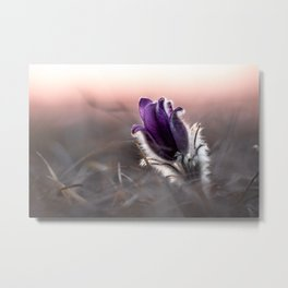 Pasque Flower leaning towards last light Metal Print