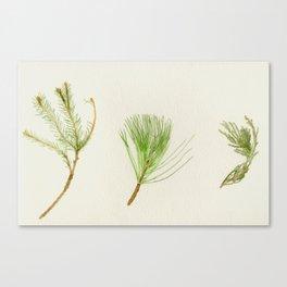 Conifer Study Canvas Print
