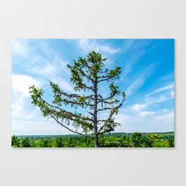 Conifer Tree Top Canvas Print