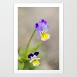 Johnny-Jump-Up Flower 4 Art Print