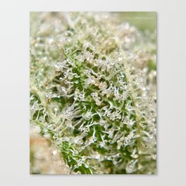 Gorilla Glue #4 Top Shelf Indoor Hydroponic Trichomes Close Up GG#4 Canvas Print