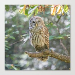 Barred Owl Dreams Canvas Print
