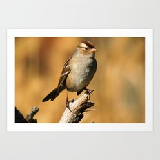 White-crowned Sparrow Art Print