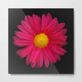 Pink Chrysanthemum Metal Print