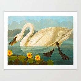 Common American Swan John James Audubon Scientific Birds Of America Illustration Art Print