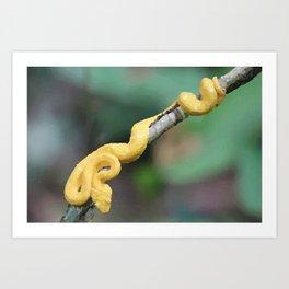 Cesta Rica Yellow poison Snake - Reptiles Art Print