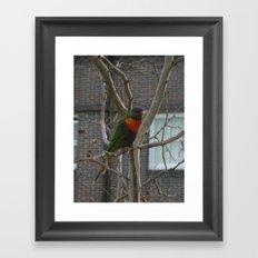 Rainbow Lorikeet DPG150612 Framed Art Print