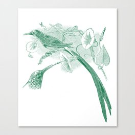 Vintage Green and White Drawing of African Sunbirds Canvas Print