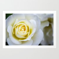 Rose in Bloom Art Print