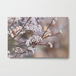 Spring Blackthorn Blossom Metal Print