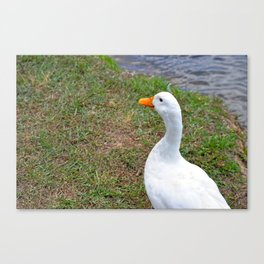 White Duck by Pond Canvas Print