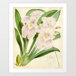 Miltoniopsis vexillaria 'The Flag-Like Miltoniopsis' 1873 Art Print
