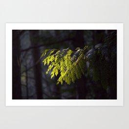 Western Red Cedar in Forest Sunlight Art Print