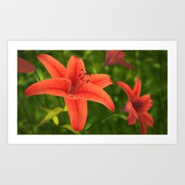 Lilium Flower Art Print