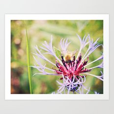 Spring Time Bumble Bee on a Purple Flower Art Print