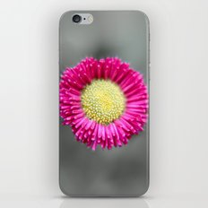 Blossom from a Daisy Isolated on Gray Background iPhone & iPod Skin