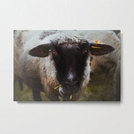 Sheep portrait close up, mountain sheep, animal photography Metal Print