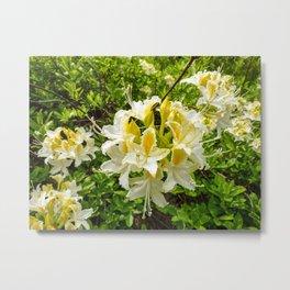 Wild Western Azalea (Rhododendron Occidentale) Metal Print
