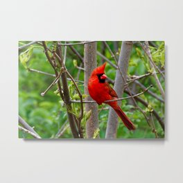 Perched Male Northern Cardinal Metal Print