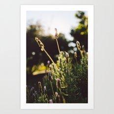 Lavender no. 2 Art Print