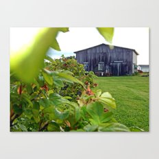 Wild Rose Bush and the Old Barn Canvas Print