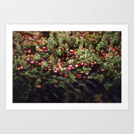 Cranberry Bog  Art Print