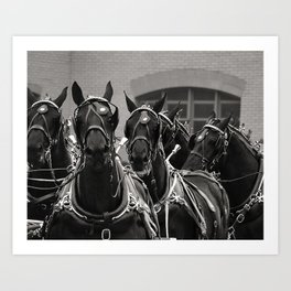 Percheron Horse Team, 2008 Art Print